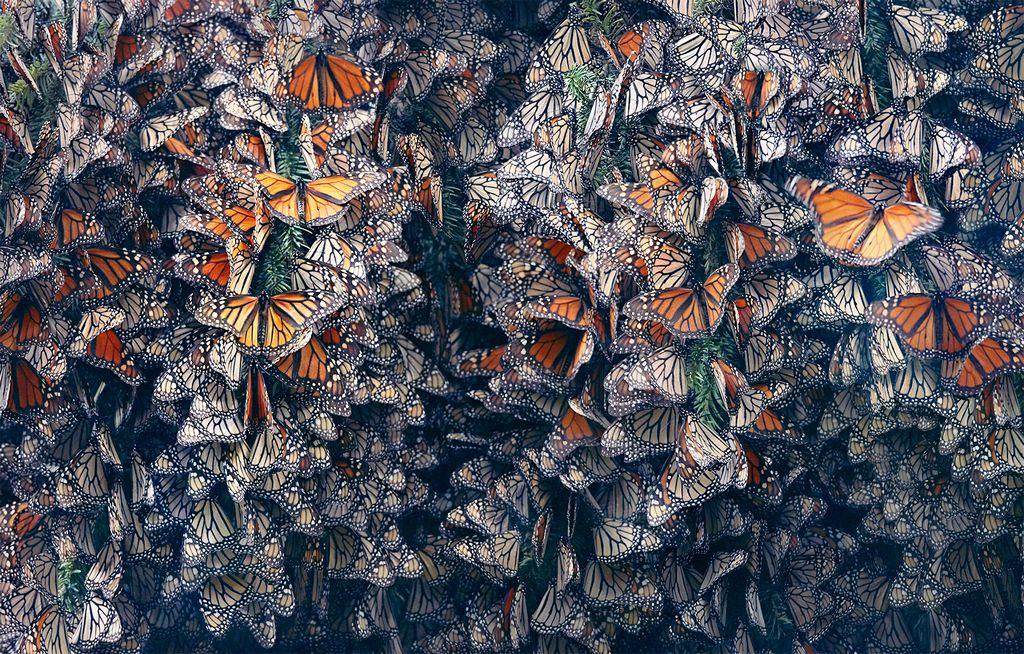 Seltene Tiere Monarchfalter Schwarm